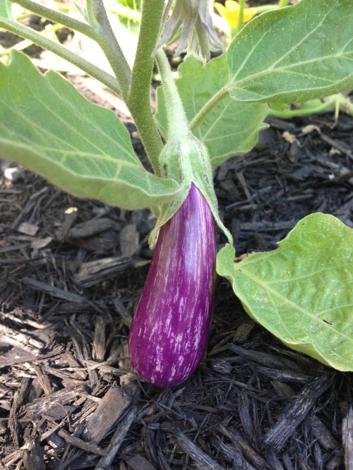 'Fairy Tale' eggplant in all its 4-inch cream-and-violet-striped glory.