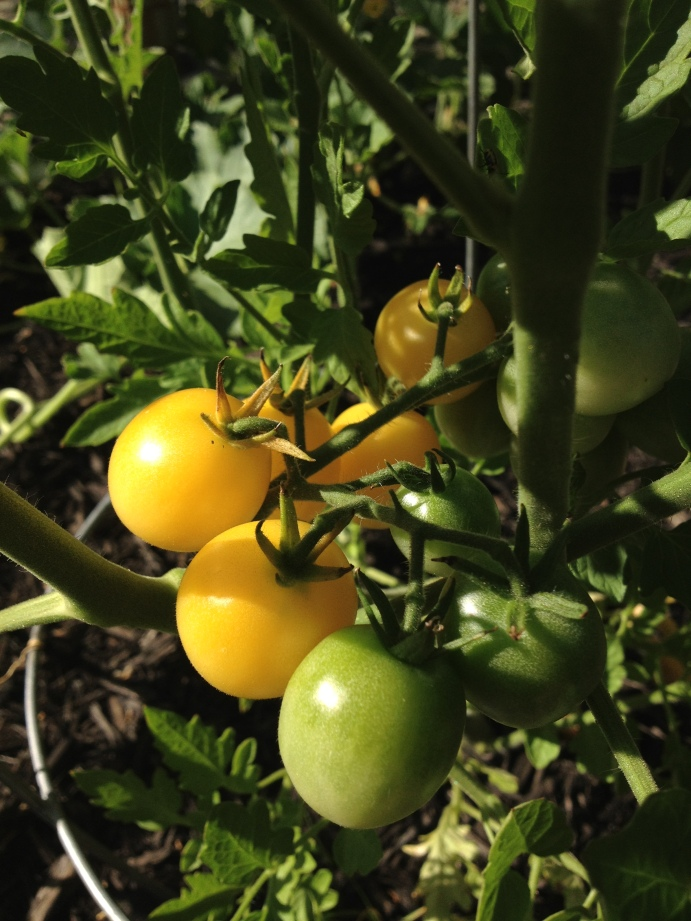 'Snow White' tomatoes ripen to a pale yellow. Plants perform best if staked.